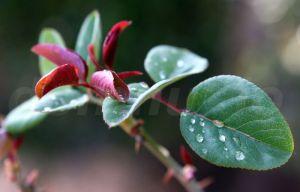 leaf-frunze de trandafir