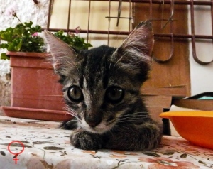 kitten-pisicuta big ears